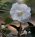 Camellia japonica (camellia) (9057380353).jpg
