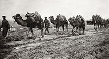 A photo of Bulgarian military-transport camels in 1912