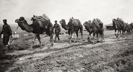 Camels on the way to Catalca, 1912