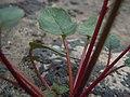 Camissonia scapoidea utahensis (4740067818).jpg