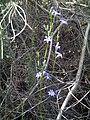 Campanula rapunculus Plant2 SierraMadrona.jpg