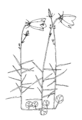 Campanula rotundifolia ellywa.png