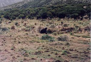 Campbell Island, New Zealand - Image: Campbell Island, New Zealand scene