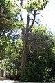 Campo Grande tronco del olmo seco 2011.jpg