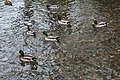 Canards Chalouette Étampes 8.jpg