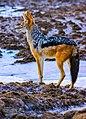 Canis mesomelas00.jpg