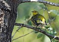 Cape May Warbler (23847647458).jpg
