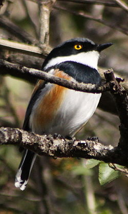Cape batis (Batis capensis) male (5964257101).jpg