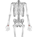 Capitate bone 02 dorsal view.png