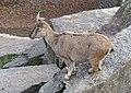 Capra falconeri - Wilhelma Zoo - Stuttgart, Germany - DSC02081.jpg