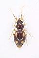 Carabidae; Liberia.jpg