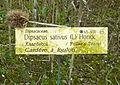 Cardère à foulon Bailleul jardin botanique.jpg
