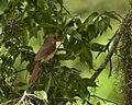 Cardinalis cardinalis -Brazos Bend State Park, Texas, USA -female-8.jpg