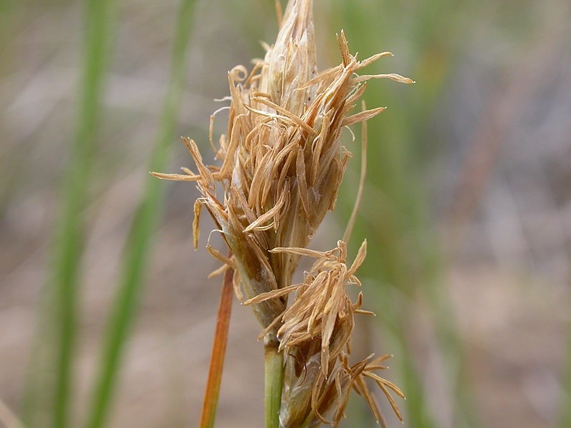 File:Carex eleocharis (8716003600).jpg