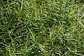 Carex muskingumensis Little Midge 1zz.jpg