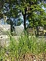 Carex tomentosa sl20.jpg