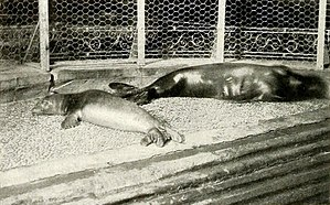 Caribbean monk seal - Two young individuals in New York Aquarium, 1910