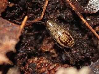 <i>Cariblatta lutea</i> species of insect