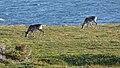 Caribou (Rangifer tarandus) - Port au Choix, Newfoundland 2019-08-19 (31).jpg