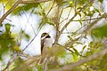 Carolina chickadee (26620344146).jpg