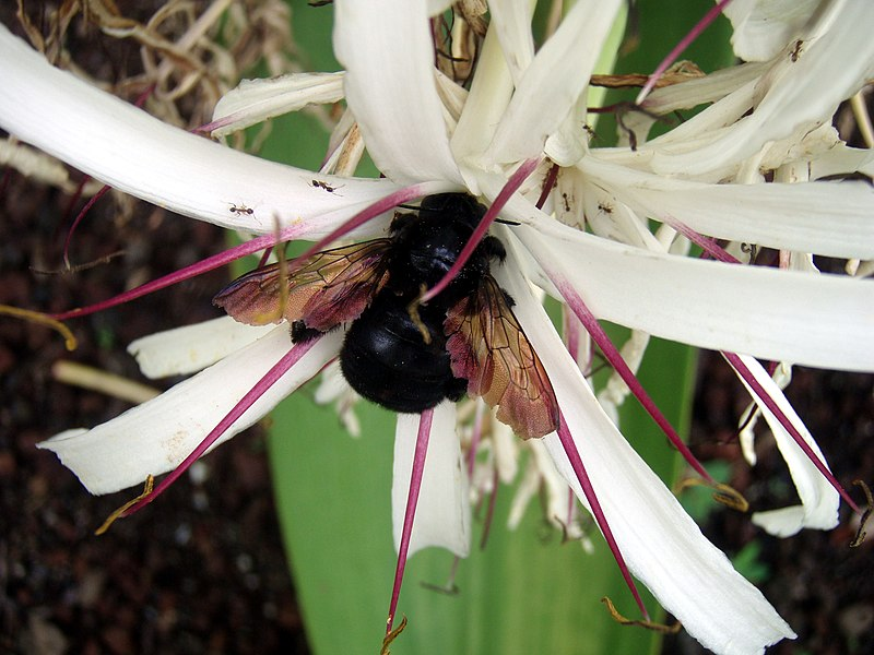File:Carpenter Bee and ants in Kona.jpg