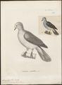 Carpophaga cineracea - 1700-1880 - Print - Iconographia Zoologica - Special Collections University of Amsterdam - UBA01 IZ15600113.tif