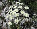 Carum carvi PID1842-1.jpg