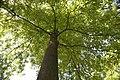 Carya tomentosa 12zz.jpg