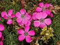 Caryophyllaceae - Dianthus pavonius-2.JPG