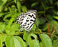 Castalius rosimon - Common Pierrot on the hostplant Ziziphus oenoplia - Jackal Jujube 15.JPG