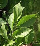 Castaneafolia leaves.jpg