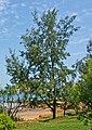 Casuarina equisetifolia - Darwin NT.jpg