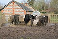Cattle at Bere Mill - geograph.org.uk - 331214.jpg