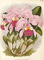 Cattleya warneri 1.jpg