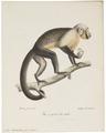 Cebus monachus - 1818-1842 - Print - Iconographia Zoologica - Special Collections University of Amsterdam - UBA01 IZ20200186.tif