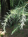 Cedrus deodara needles 01 by Line1.jpg