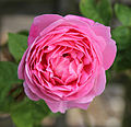 Cemetery pink rose at Theydon Bois, Essex, England.JPG
