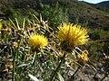 Centaurea saxicola2.jpg