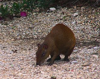 Grand Cayman - Central American agouti at Queen Elizabeth II Botanic Park