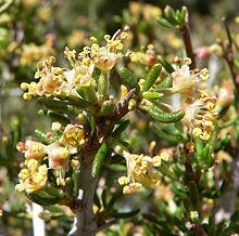 Cercocarpus Wikipedia