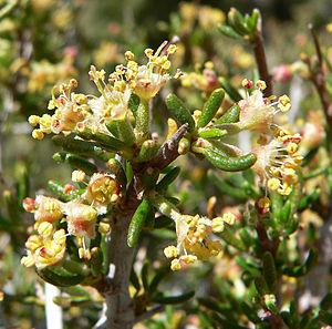 Cercocarpus - ''C. ledifolius'' var. ''intricatus''