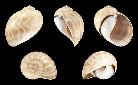 Shell of a Wavy Moon Snail, Cernina fluctuata