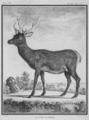 Cervus elaphus corsicanus - Gallica - ark 12148-btv1b2300253d-f13.png