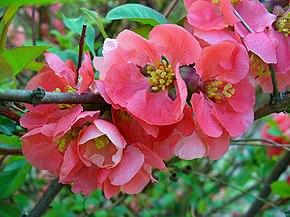 Bon Mercredi 290px-Chaenomeles_japonica_003