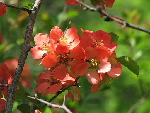 Chaenomeles japonica flowers 01