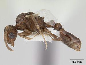 C. brunneus