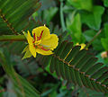 Chamaecrista nictitans, the Partridge Pea. (9337833885).jpg