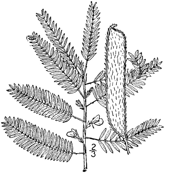 File:Chamaecrista nictitans (L.) Moench Sensitive partridge pea.tiff