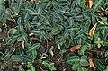 Chamaeranthemum beyrichii var. rotundifolium kz3.jpg