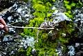 Chameleon in East Uganda.jpg